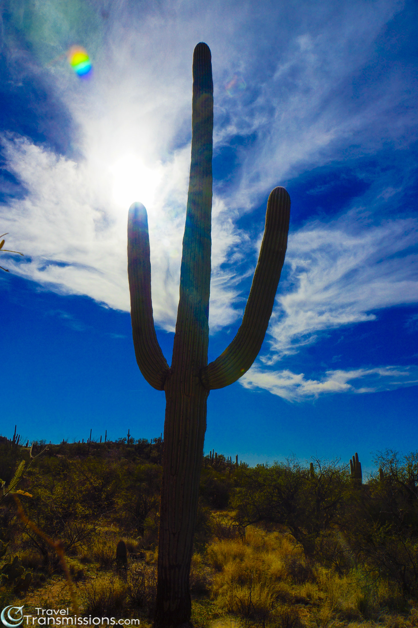 Tucson Saguaro